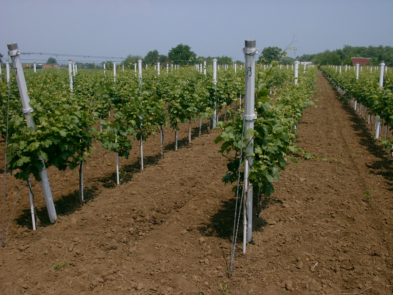 Vineyard with PVC poles